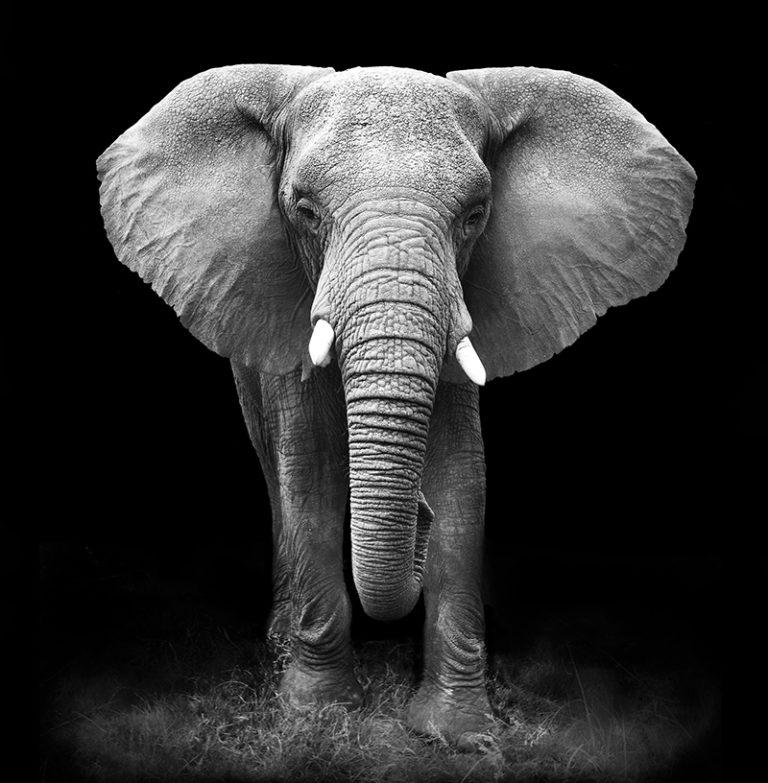 Fotomural Premium Elefante Blanco y Negro-Premium