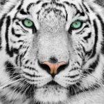 Fotomural Premium Tigre Blanco