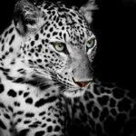 Fotomural Premium Tigre Blanco y Negro