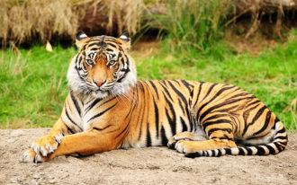 Fotomural Premium Tigre-Premium